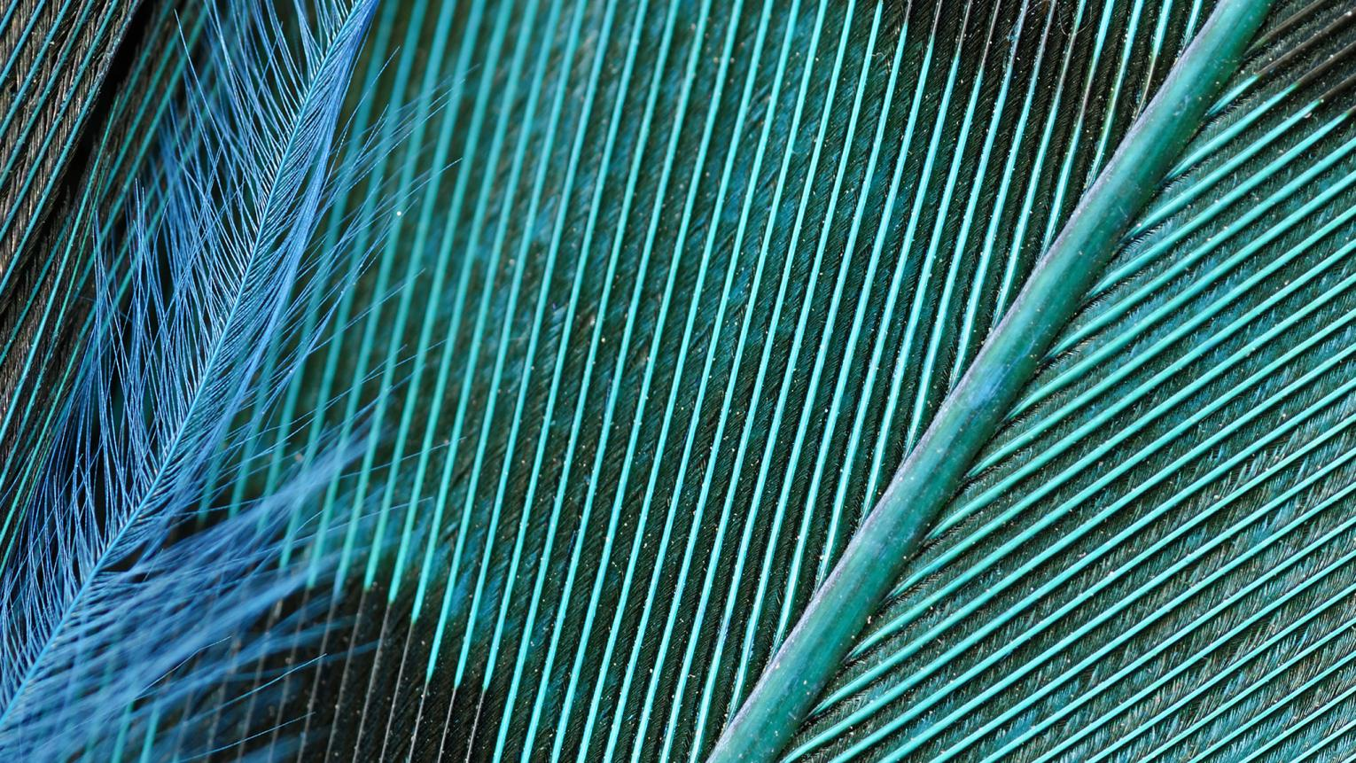 Close-up of a striking teal bird's feather